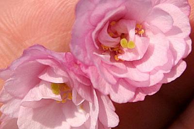 桜の花から芽