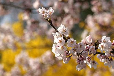 レンギョウと桜