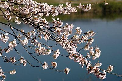 白石川河川敷の桜