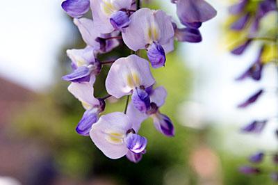 藤の花のアップ