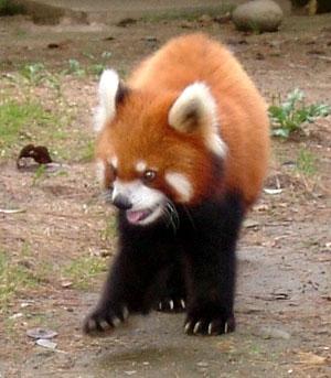 八木山動物園のレッサーパンダ