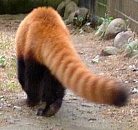 レッサーパンダのシッポ