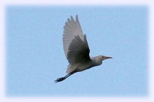 Egret(白鷺)