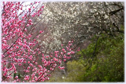 花見山の紅梅