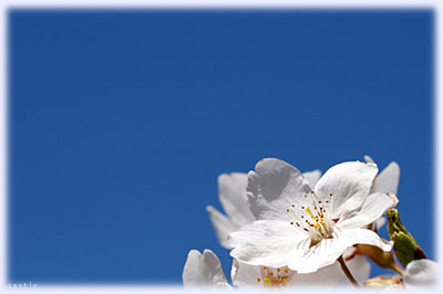 淡いピンクの桜