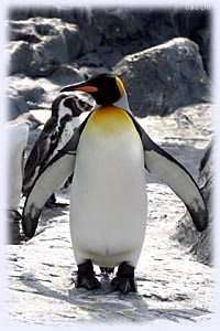よちよちペンギン