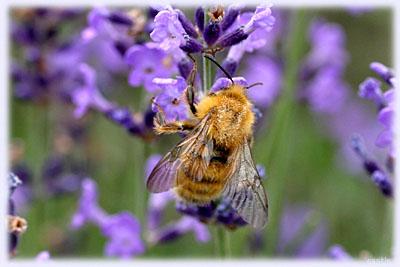 蓬の庭、蜂