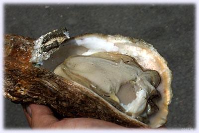 三陸の岩牡蠣