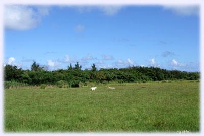 草原にヤギ