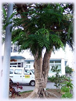 ホウオウボクの木