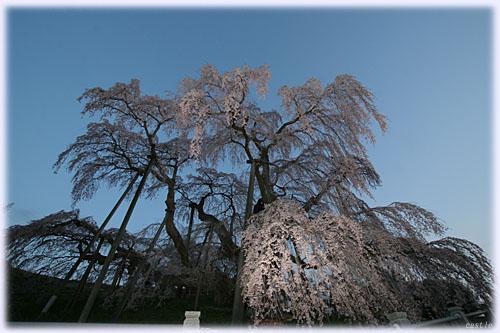 日の出前の滝桜