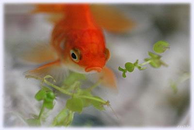 金魚の金ちゃん